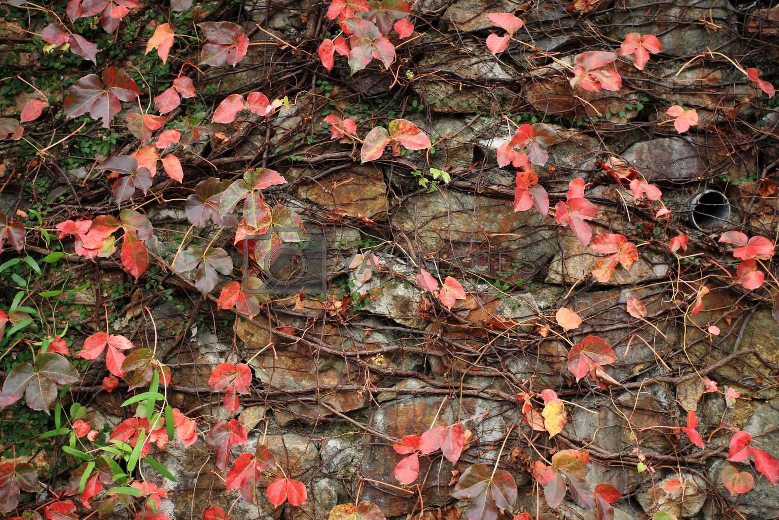 a wall with many red leaf by leungchopan