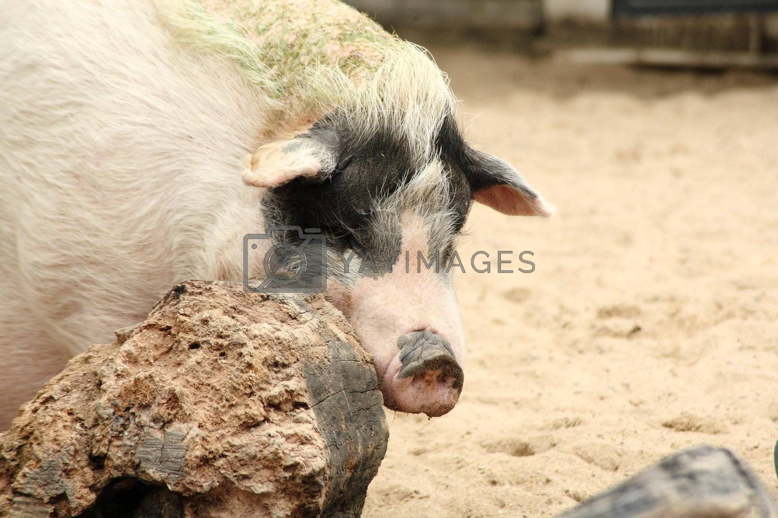 Royalty free image of pig by leungchopan