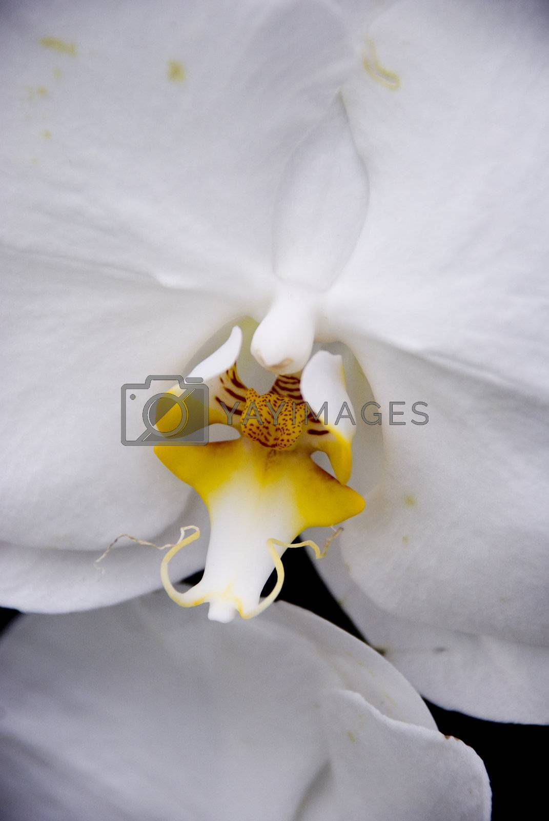 Closeup of a white orchid with a yellow and red center