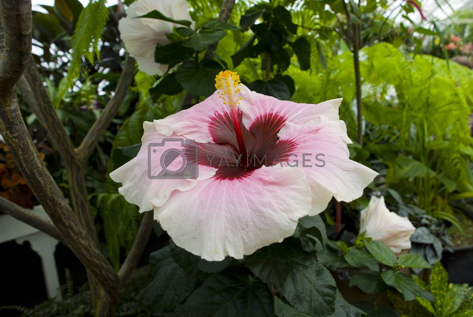Royalty free image of Hibiscus by omairkha