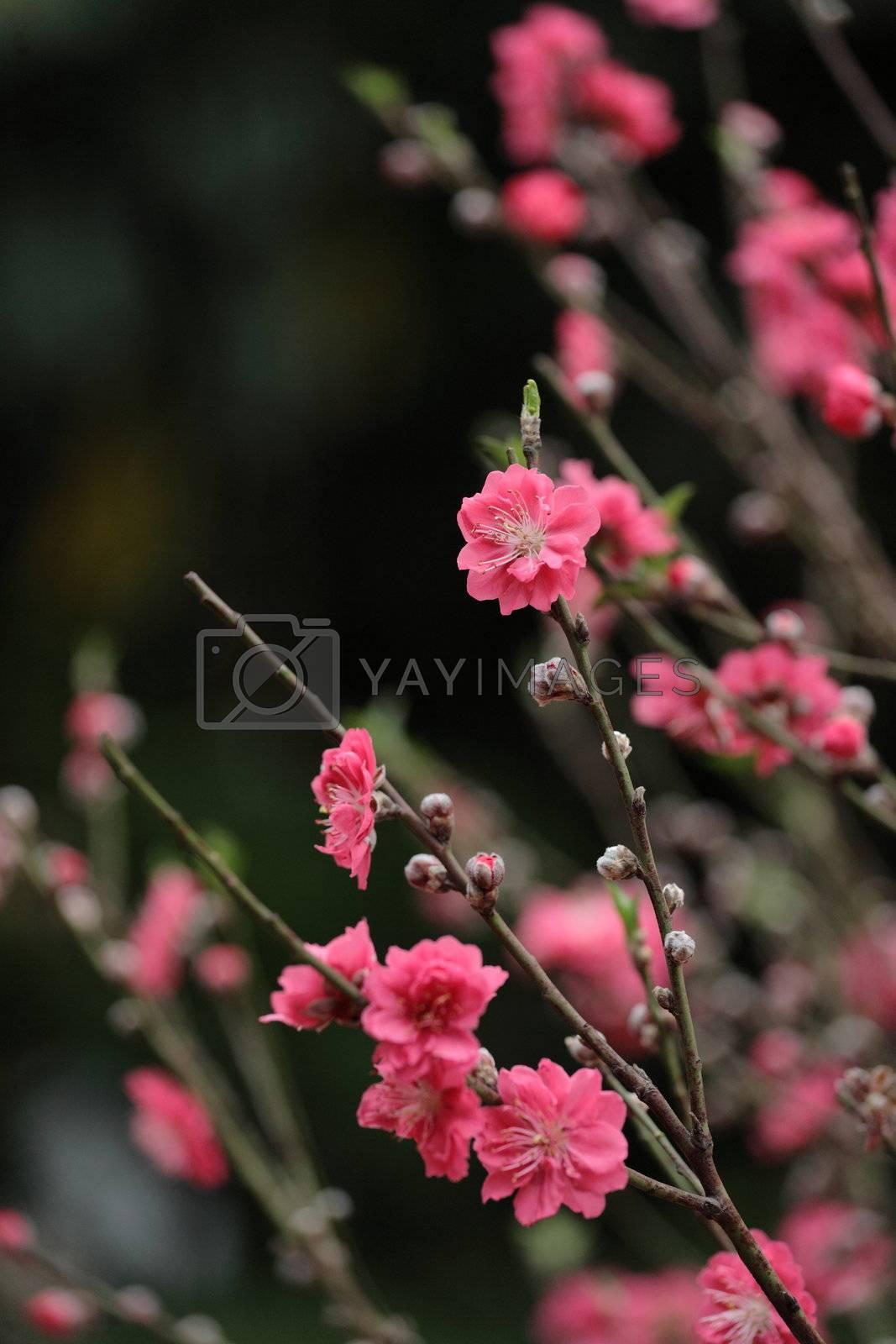 peach blossom by leungchopan