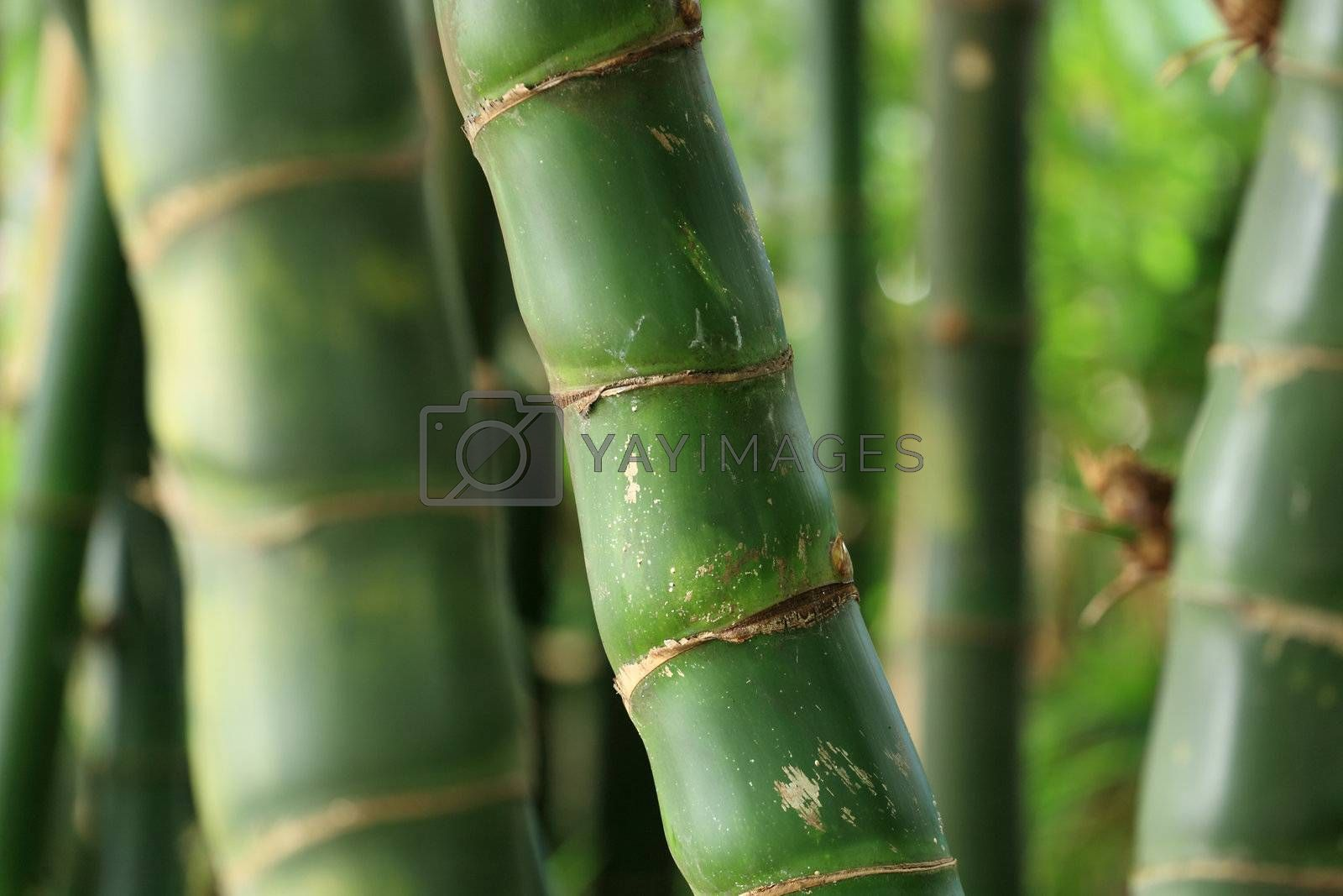 Bamboo forest background by leungchopan