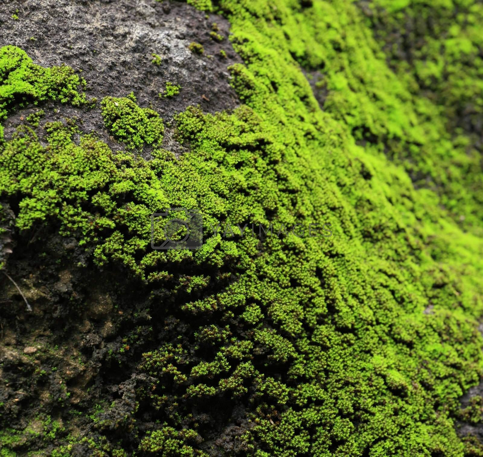 Royalty free image of moss on rock by leungchopan