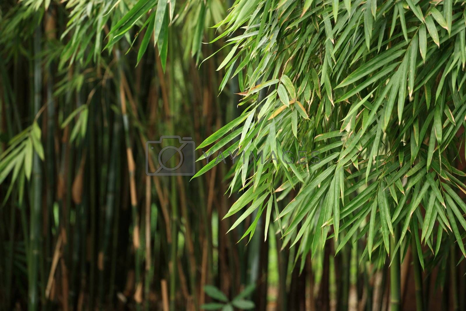 Royalty free image of Bamboo forest by leungchopan