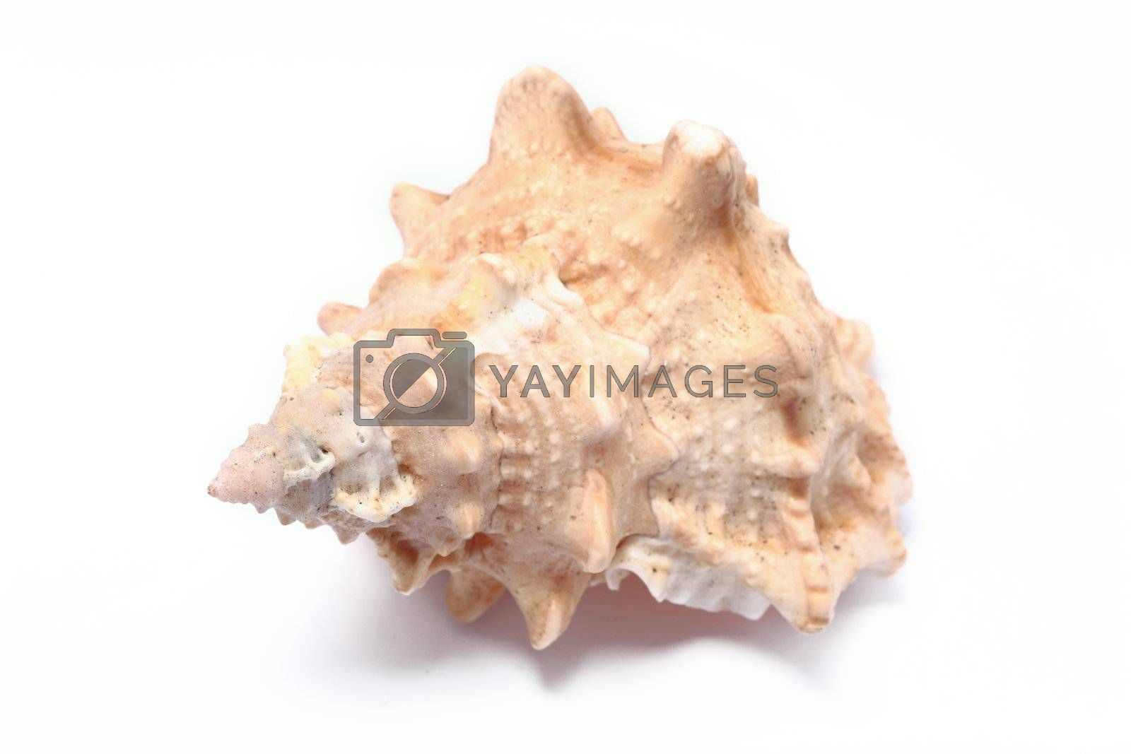 Royalty free image of sea shell on white background by leungchopan