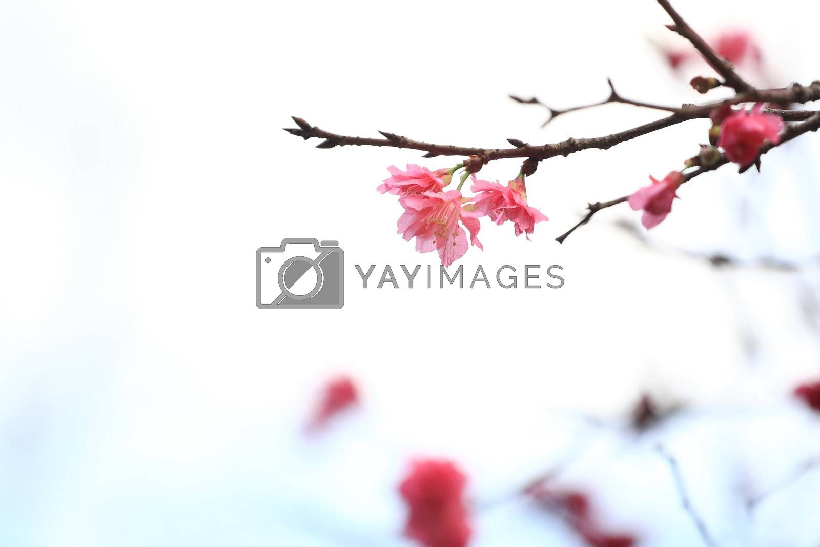 cherry blossoms by leungchopan