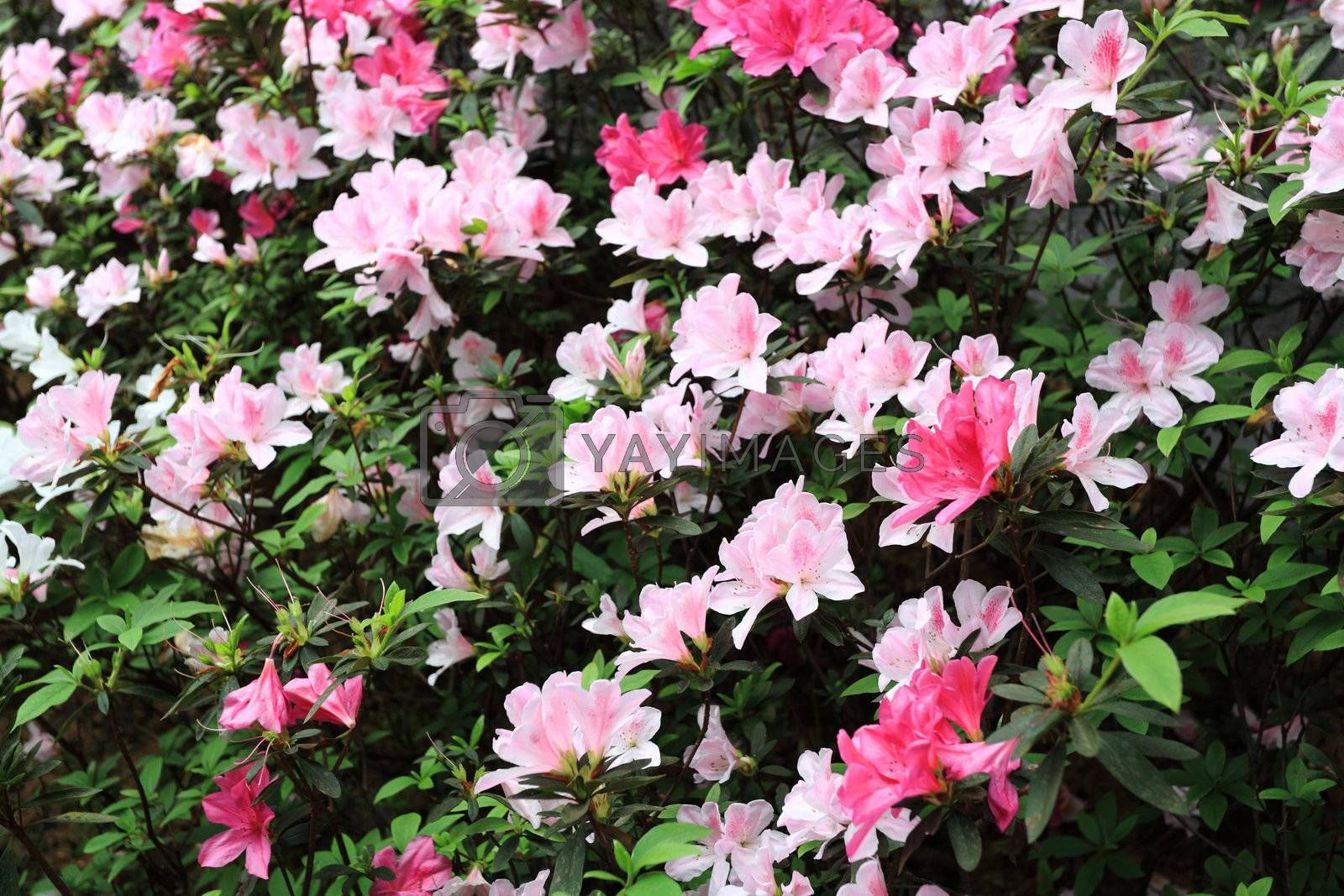Royalty free image of flower, rhododendron by leungchopan