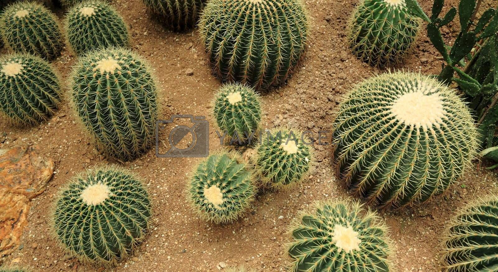 Royalty free image of many cactaceae  by leungchopan