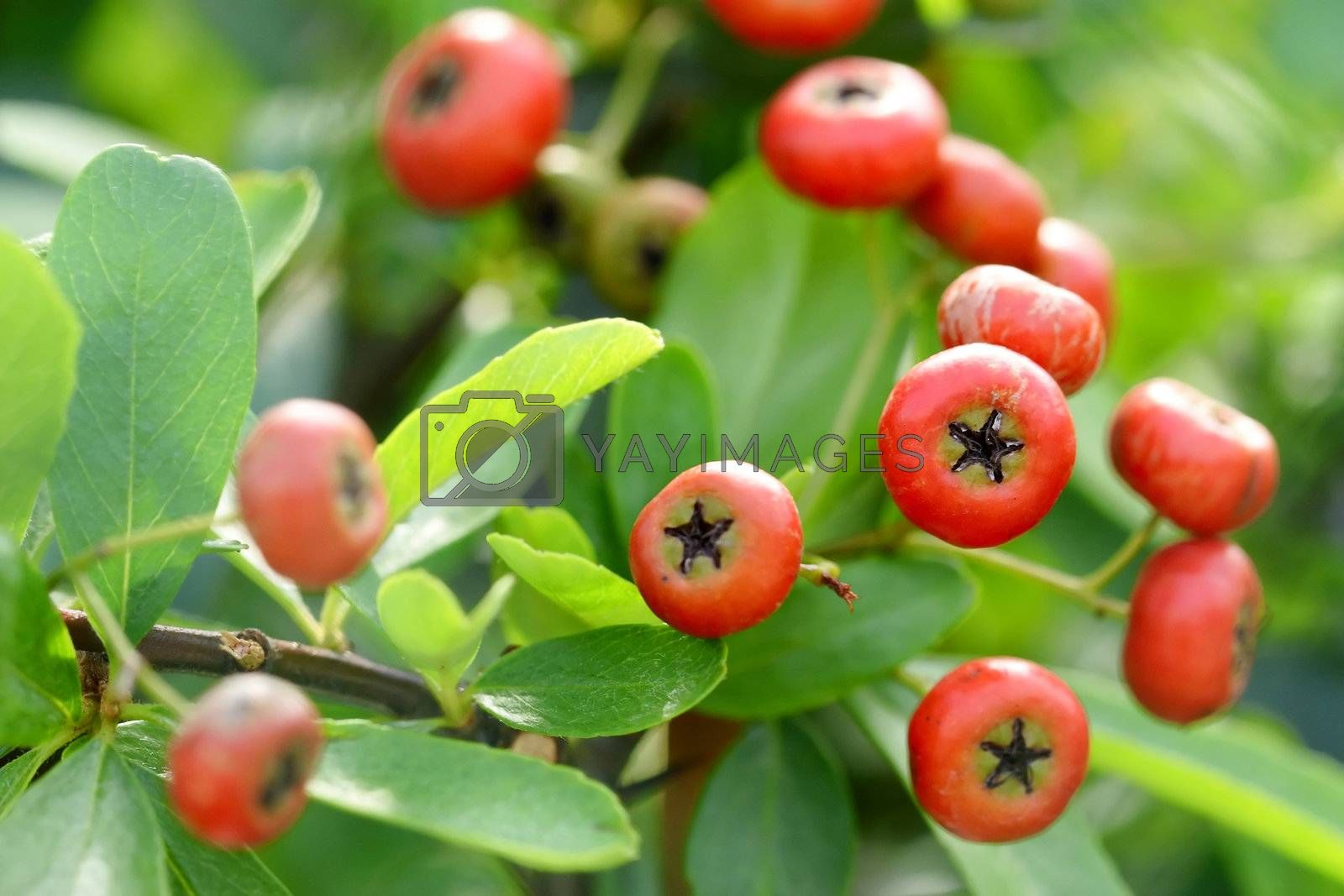 Royalty free image of Chinese firethorn by leungchopan