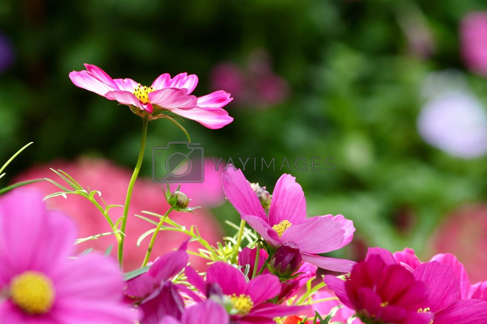 Cosmos Flower by leungchopan