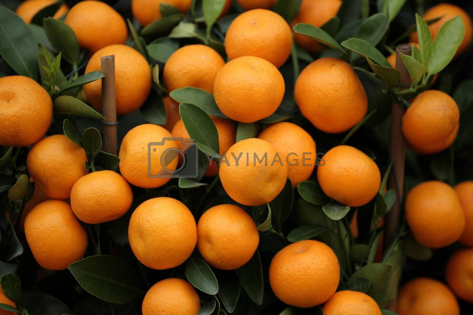 Royalty free image of many kumquat by leungchopan