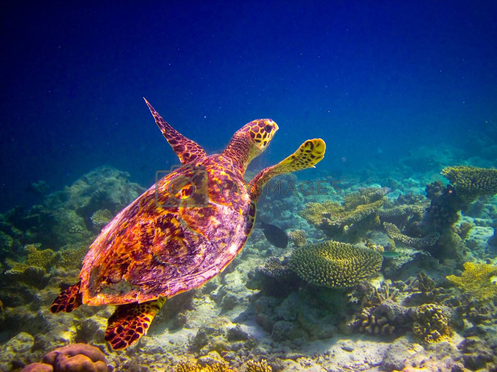 Royalty free image of Hawksbill Turtle swiming like flying by anobis