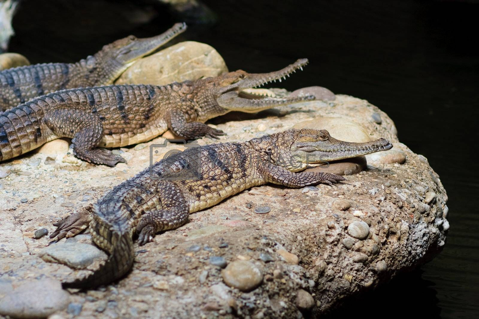 Royalty free image of Young alligator by anobis