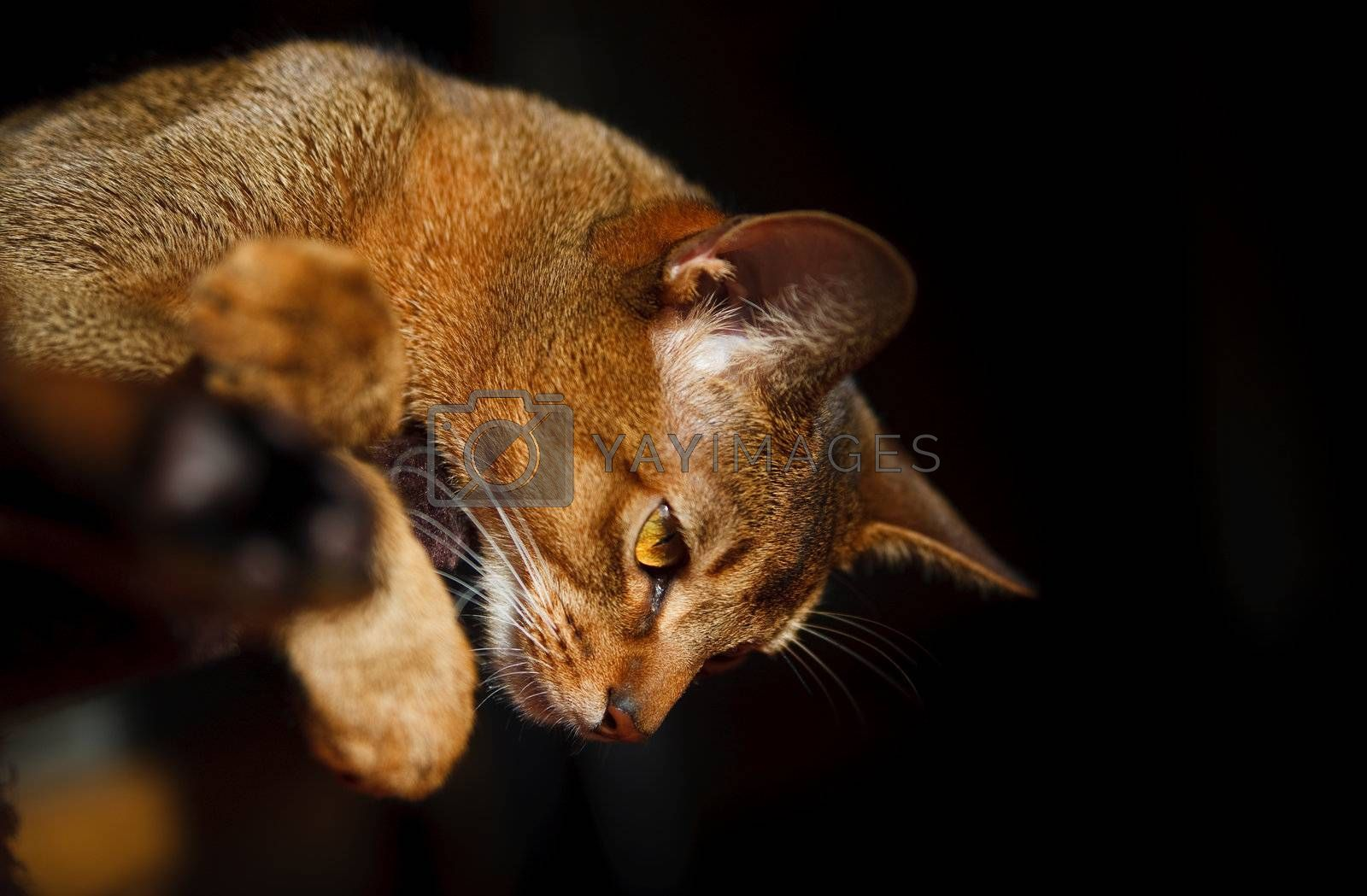 Royalty free image of Abyssinian cat by anobis