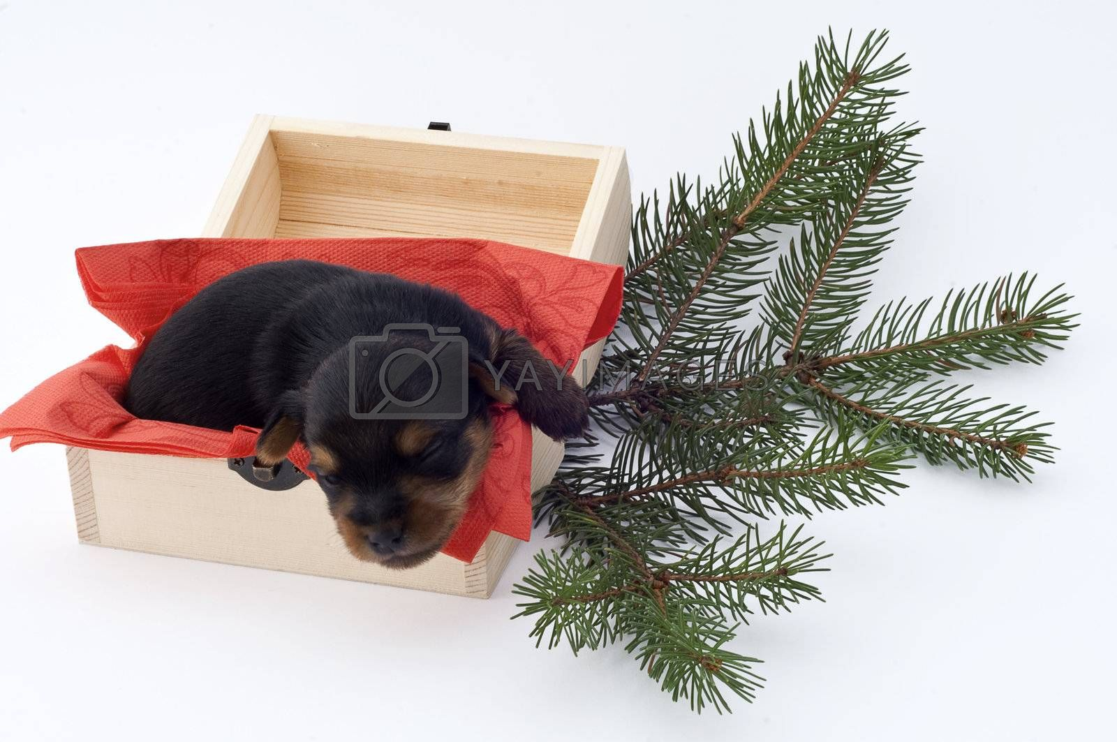 two weeks Yorkie puppy on white background