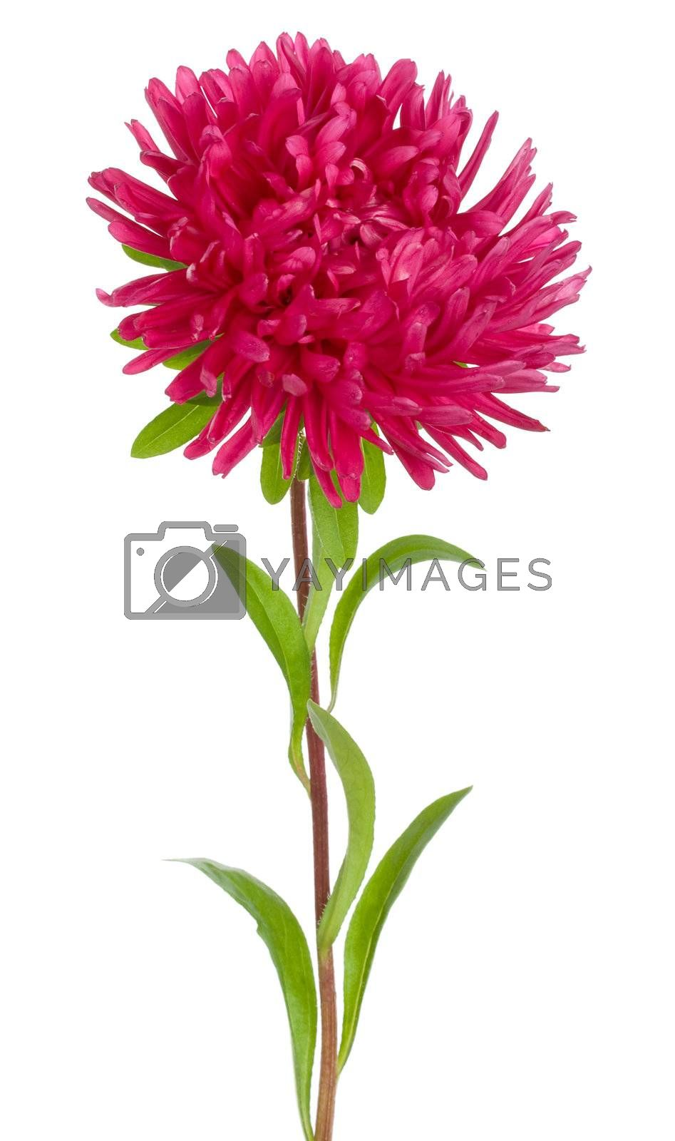 close-up red aster flower, isolated on white