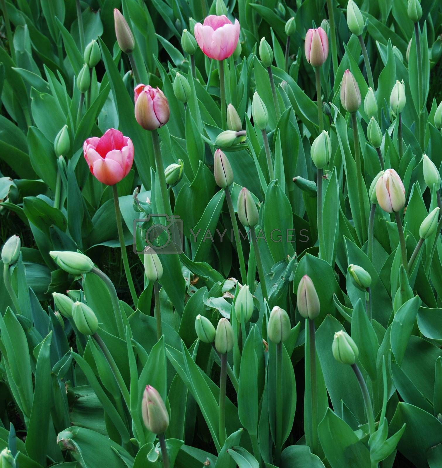 tulips by windmill