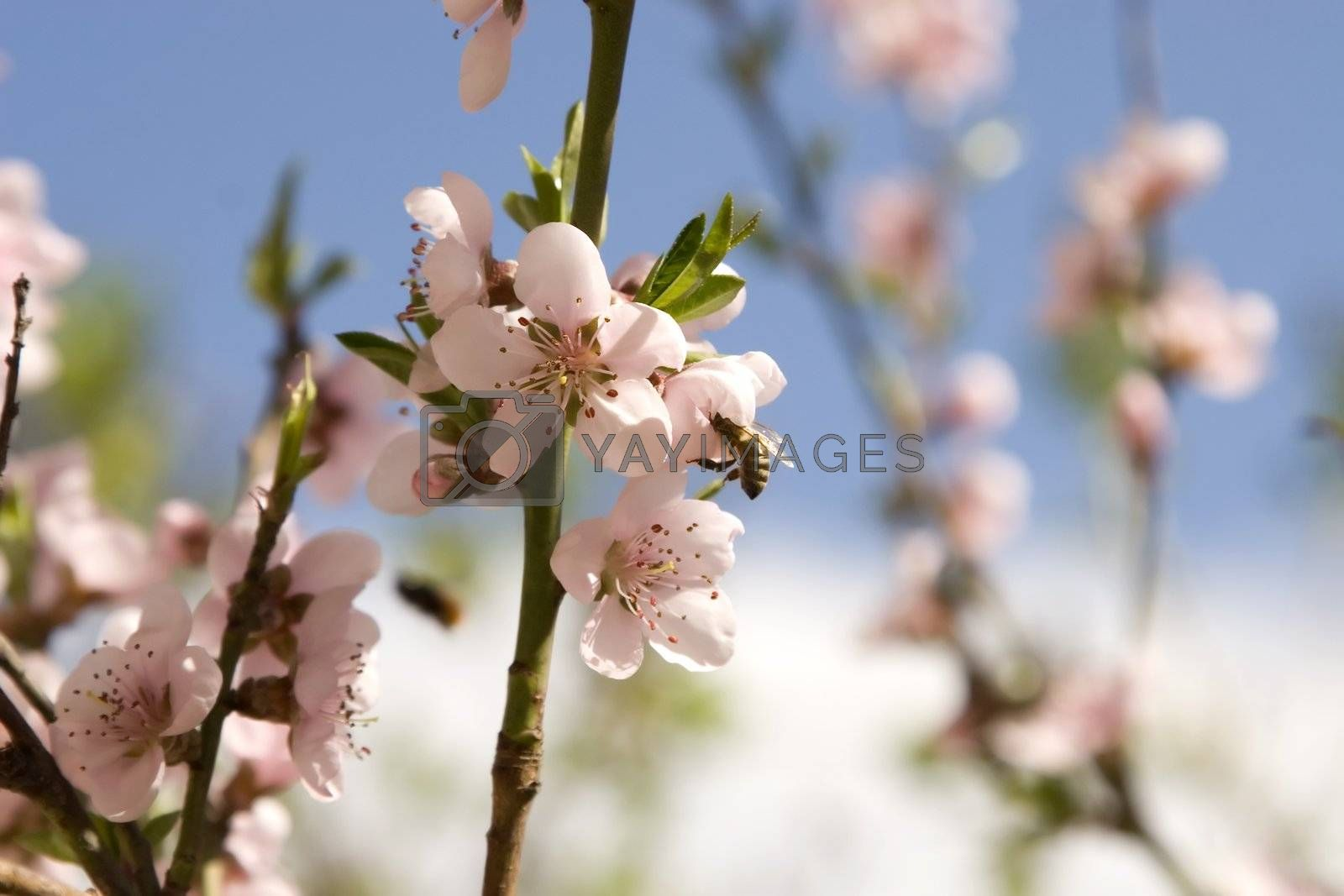 Cherry flowers in spring time with a bee