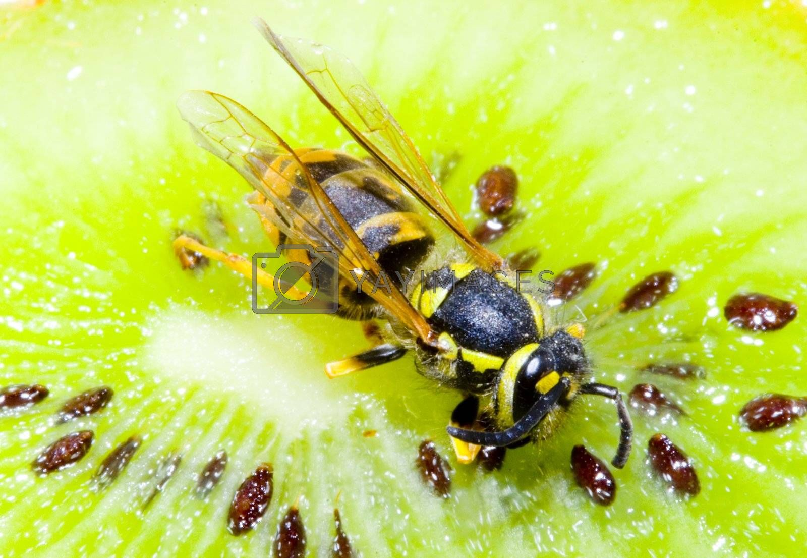 detail of a common wasp on a Kiwifruit - Vespula vulgaris