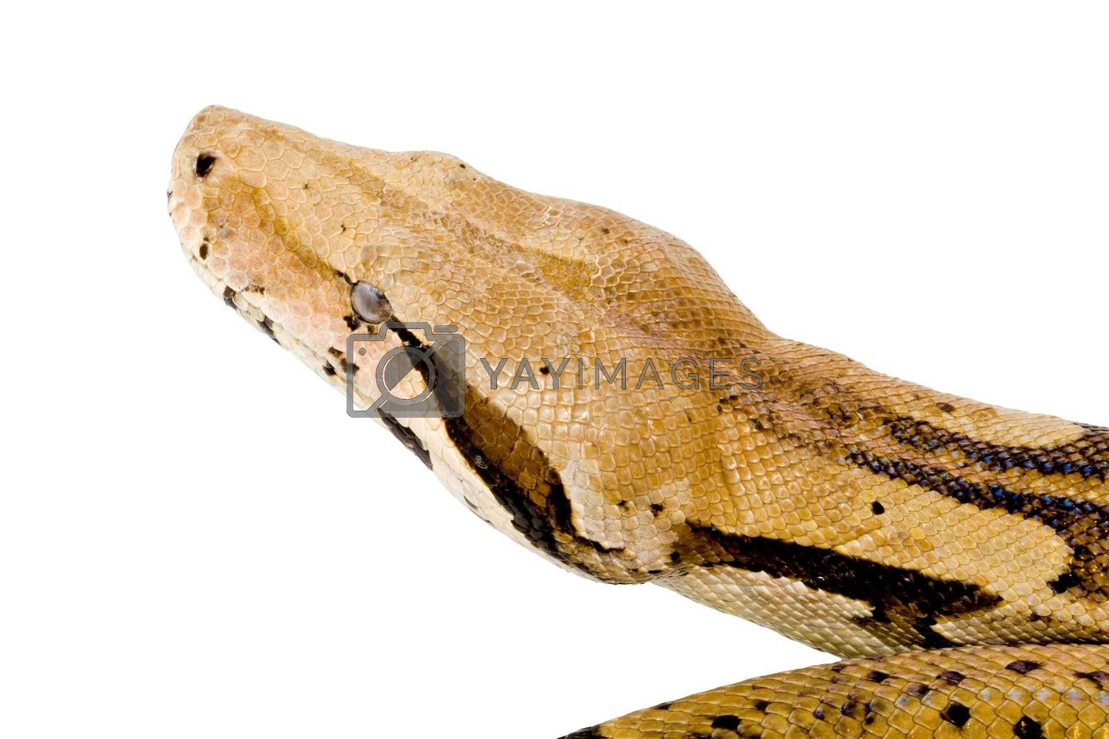 Head of a large adult Boa Constrictor  - detail
