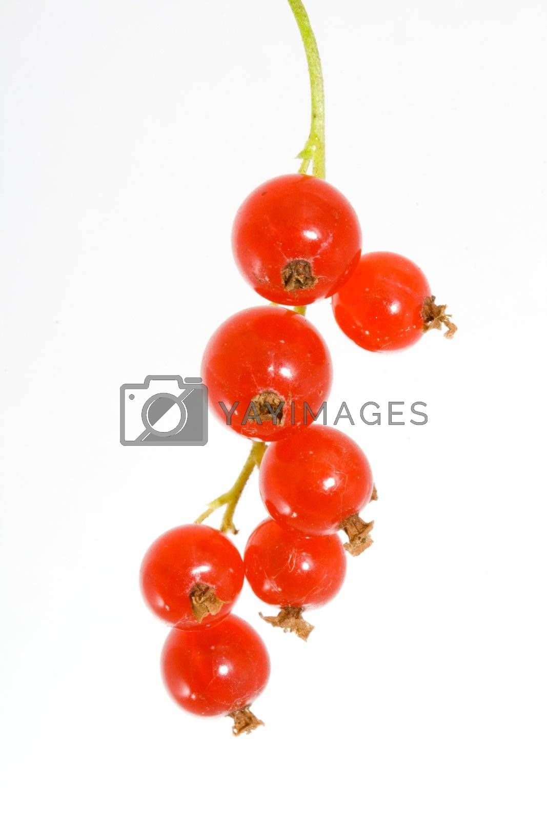 a bunch of berries of red currant - Ribes rubrum