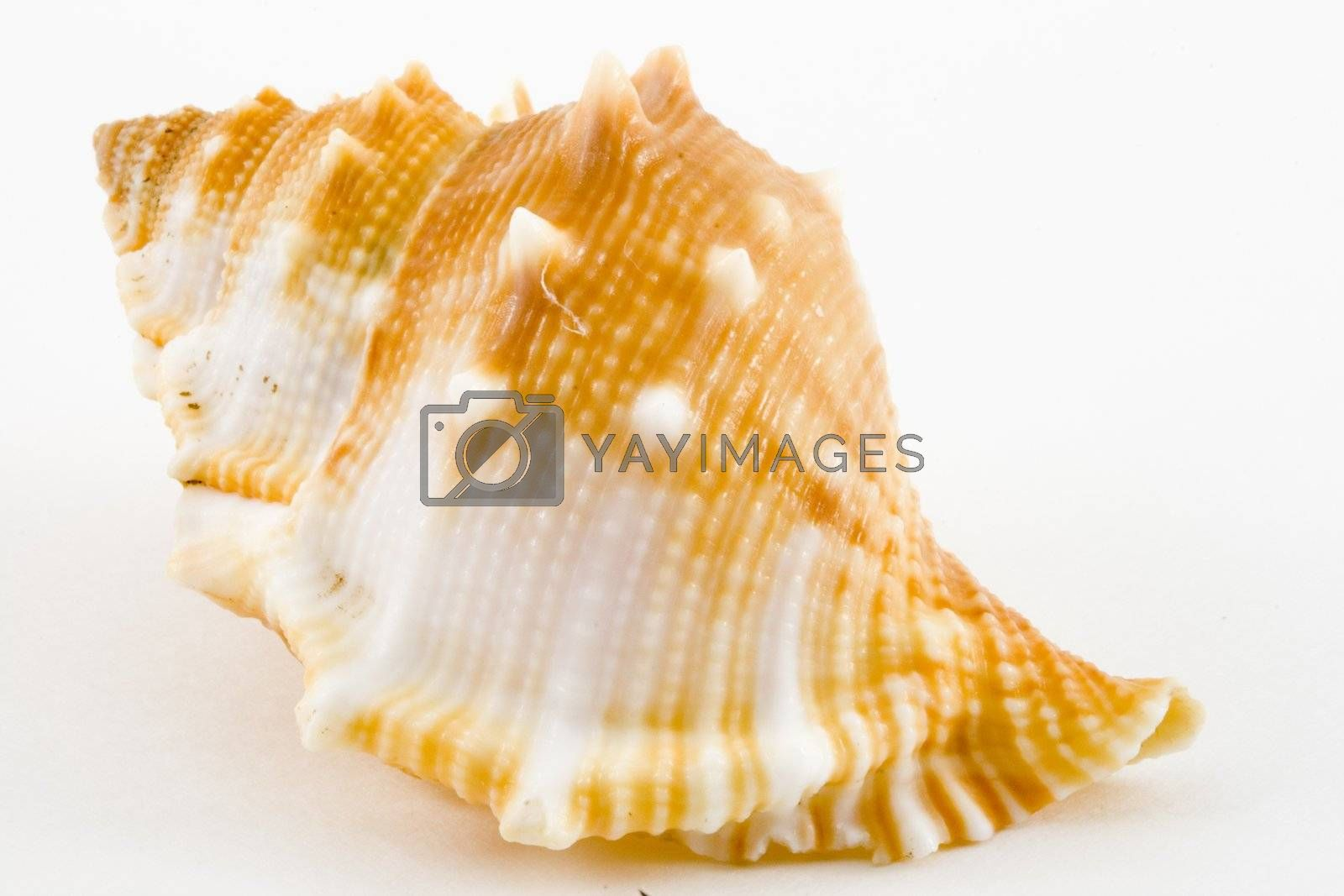 detail of a conch on the white background