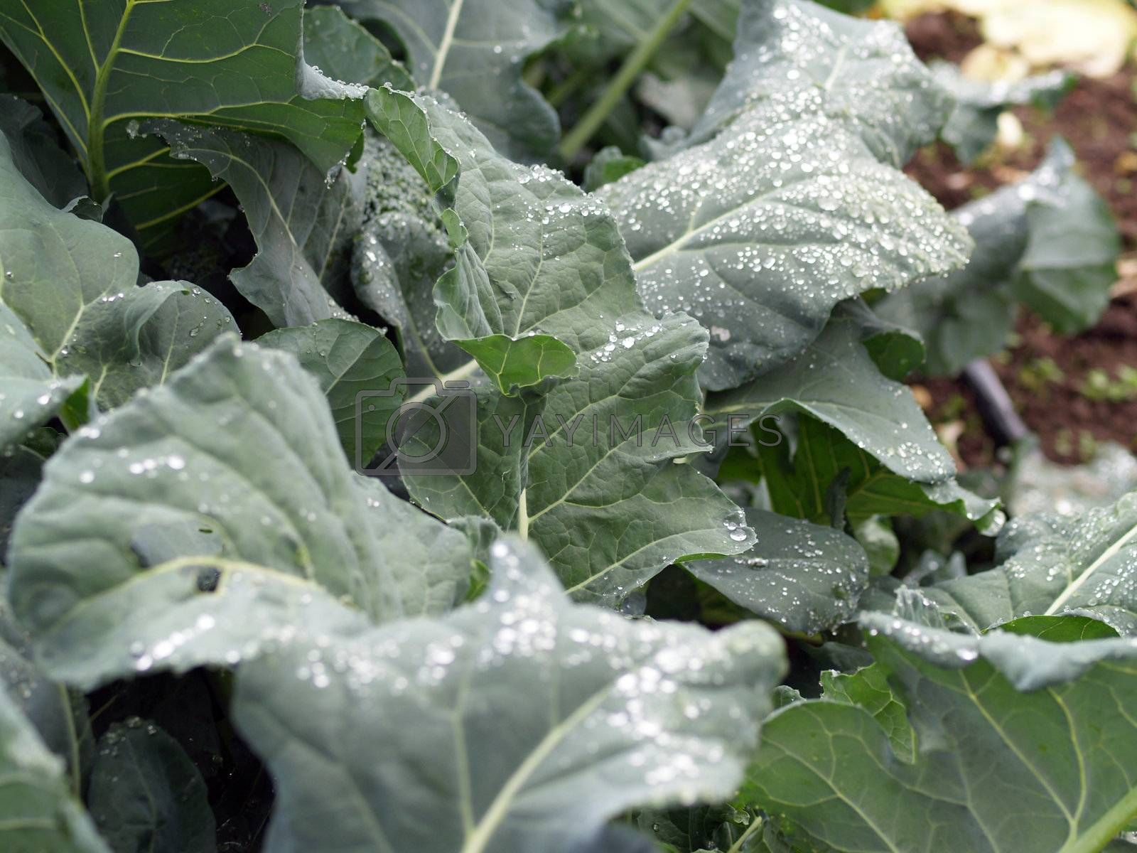 Row of kale plants with water drops on leaves