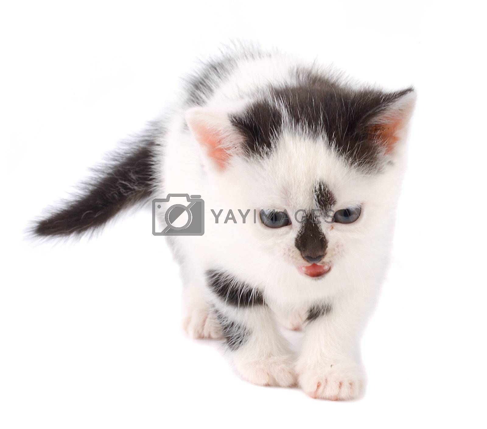 close-up kitten, isolated on white