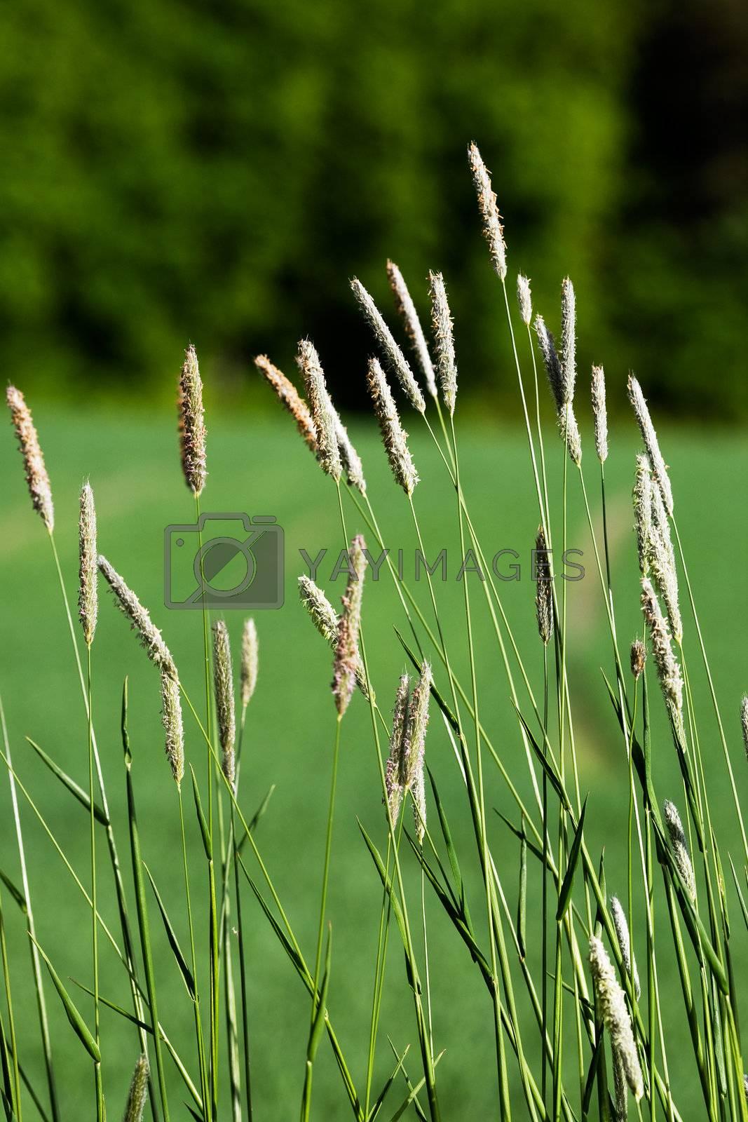 Wild grass on a green background - Timothy-grass (Phleum pratense)