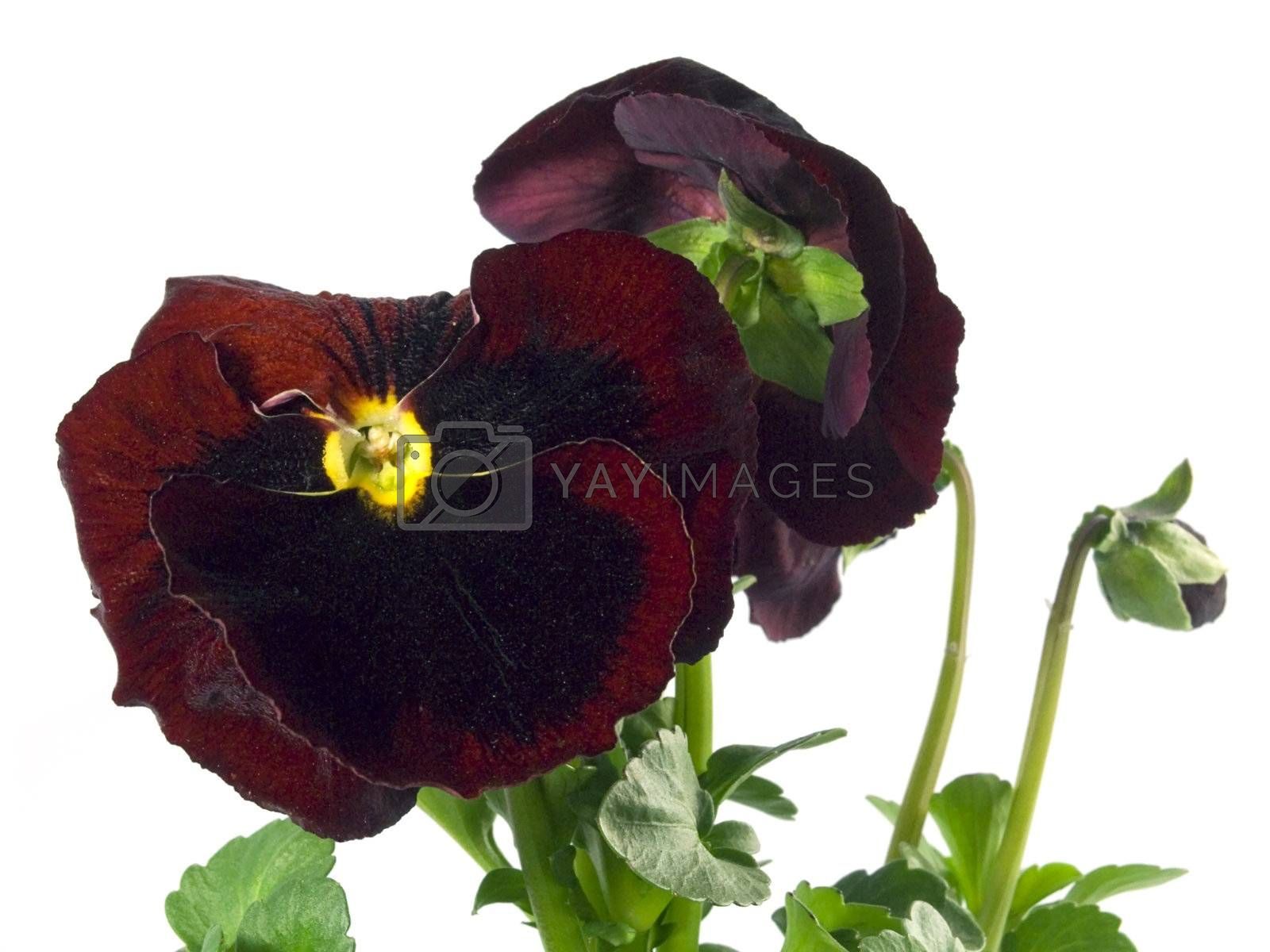 close-up pf beautiful maroon pansies isolated on a white background