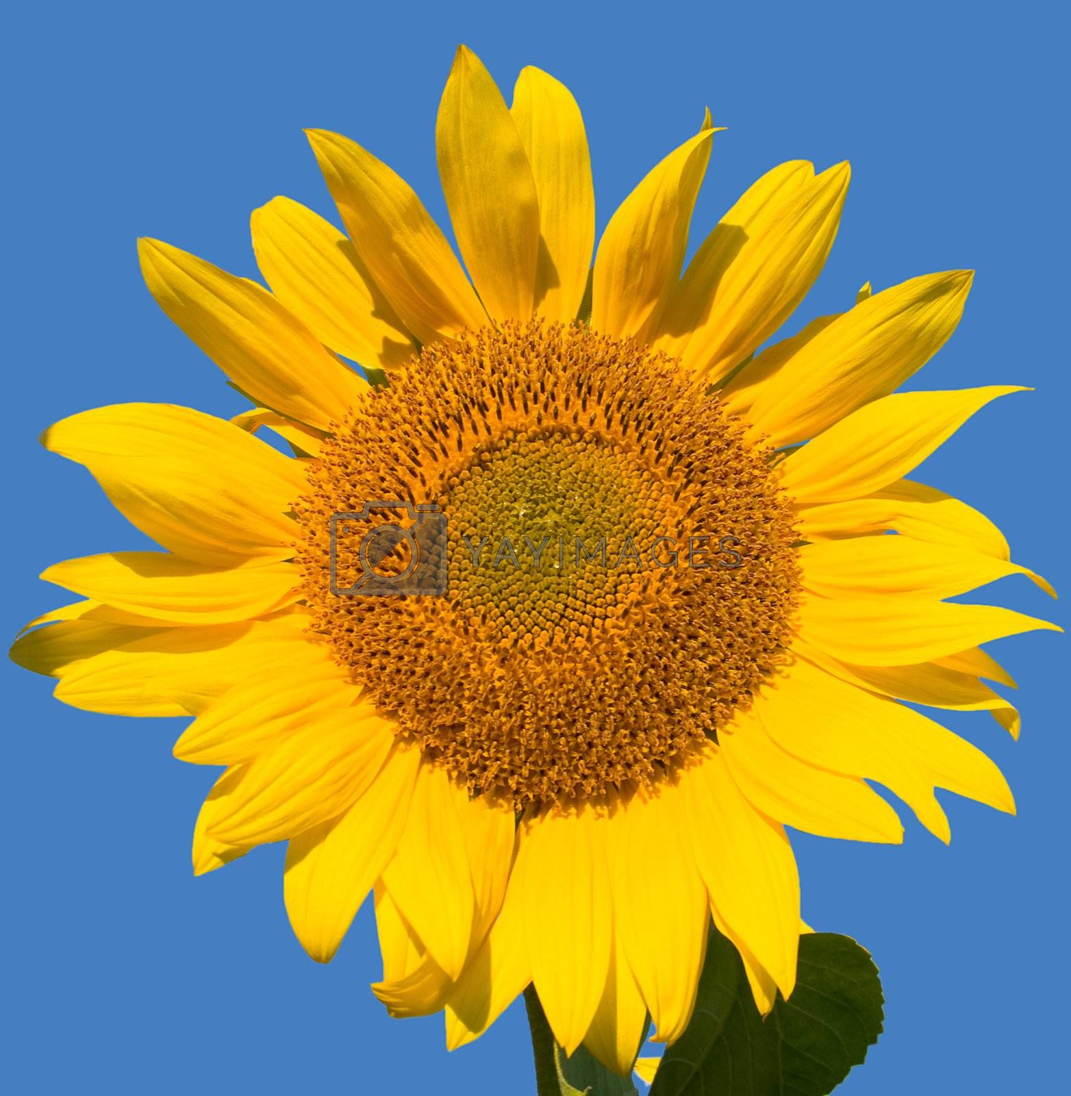 ripe sunflower on a blue background