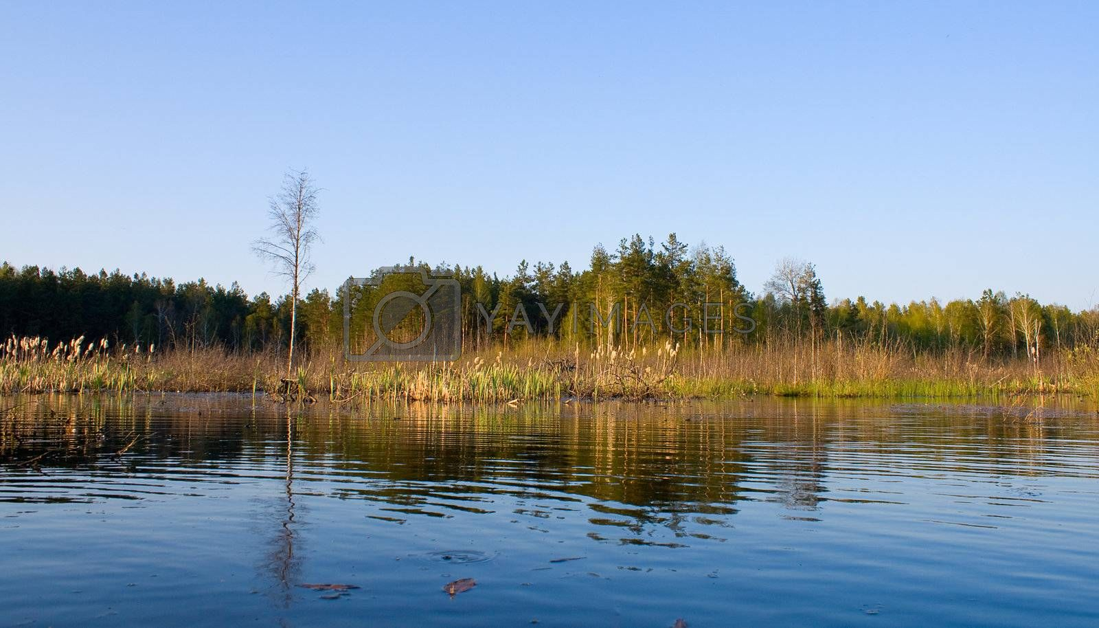 rushy swamp in forest landscape, spring time