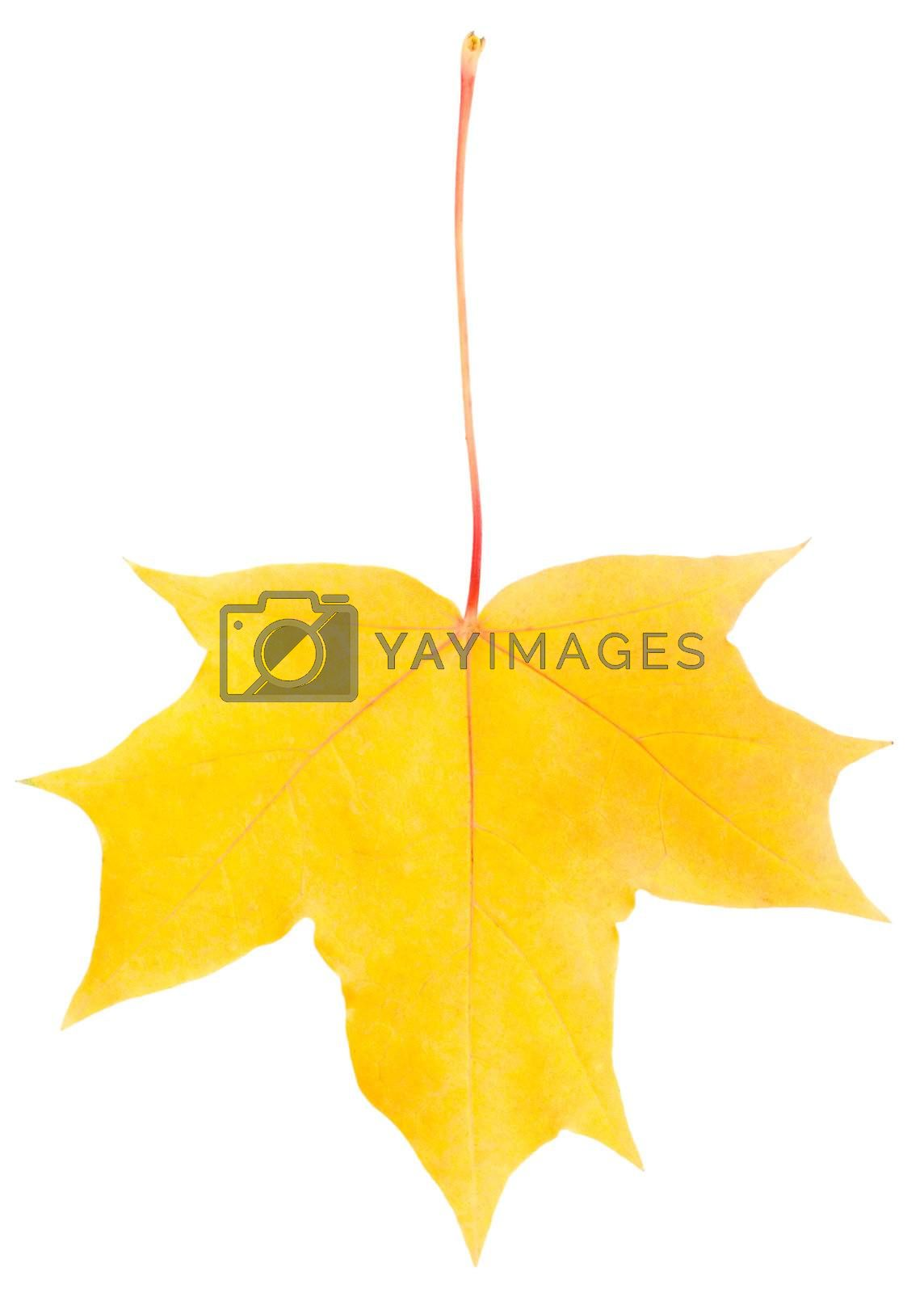 close-up rust fallen yellow maple leaf, isolated on white