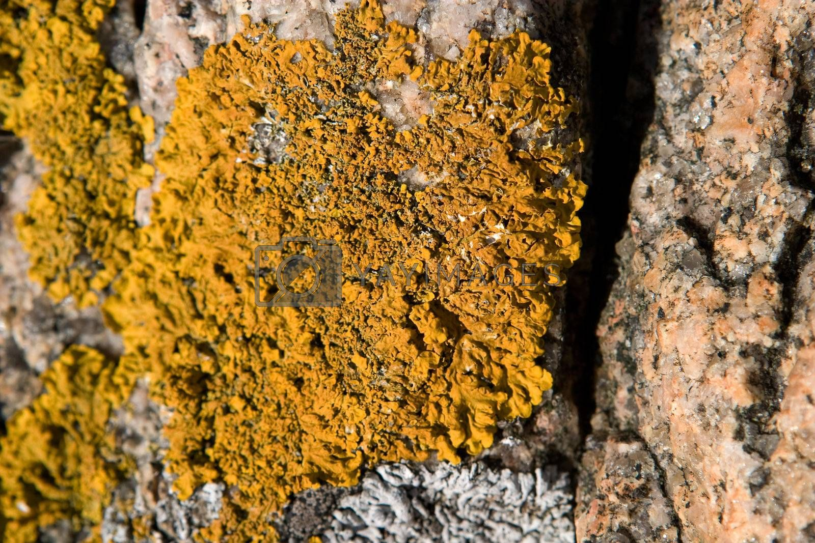 A yellow fungus on a rock