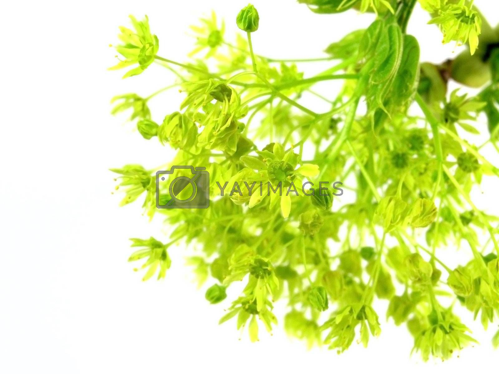 fresh spring branch isolated on white background