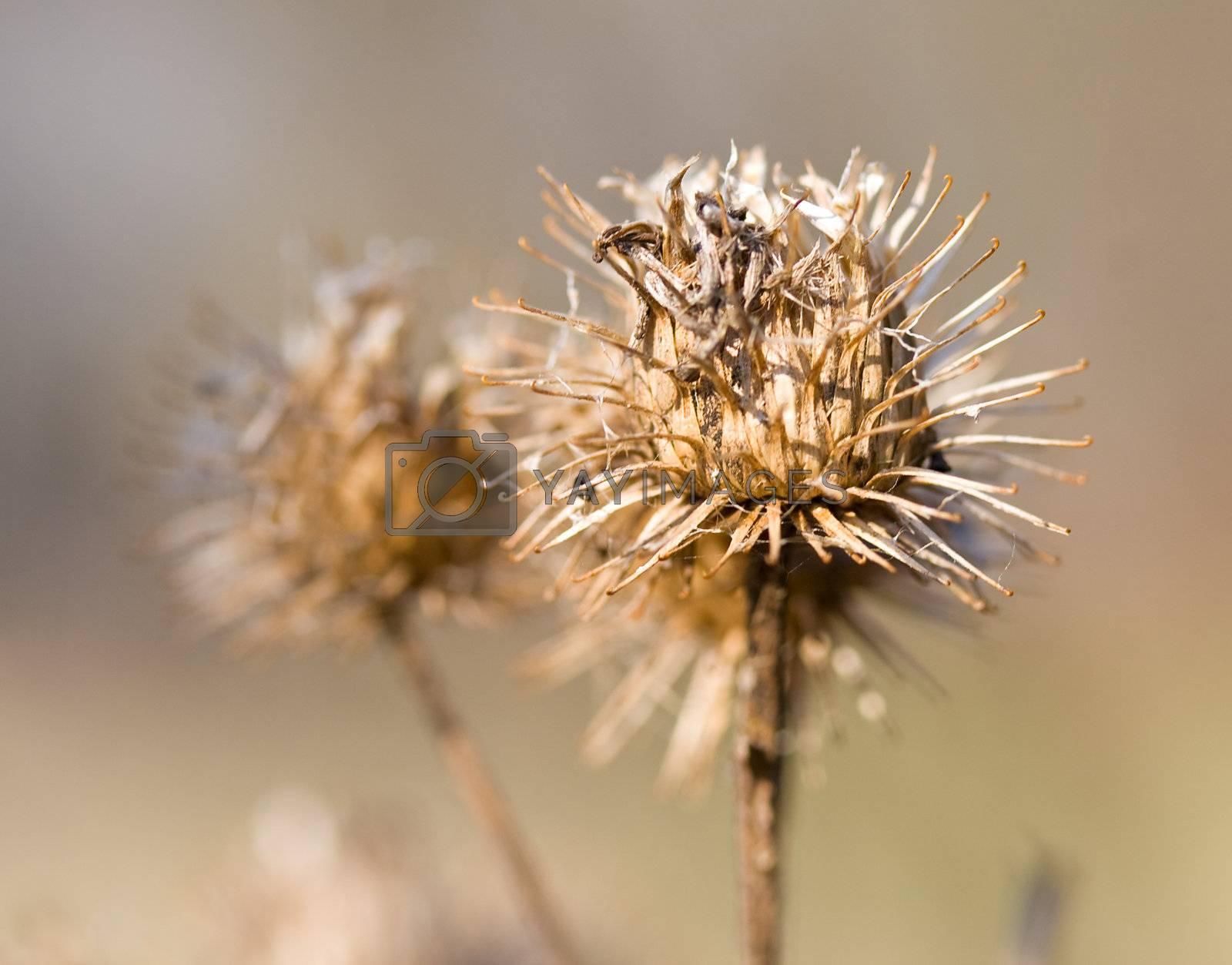 close-up dry burdock bush, selective focus