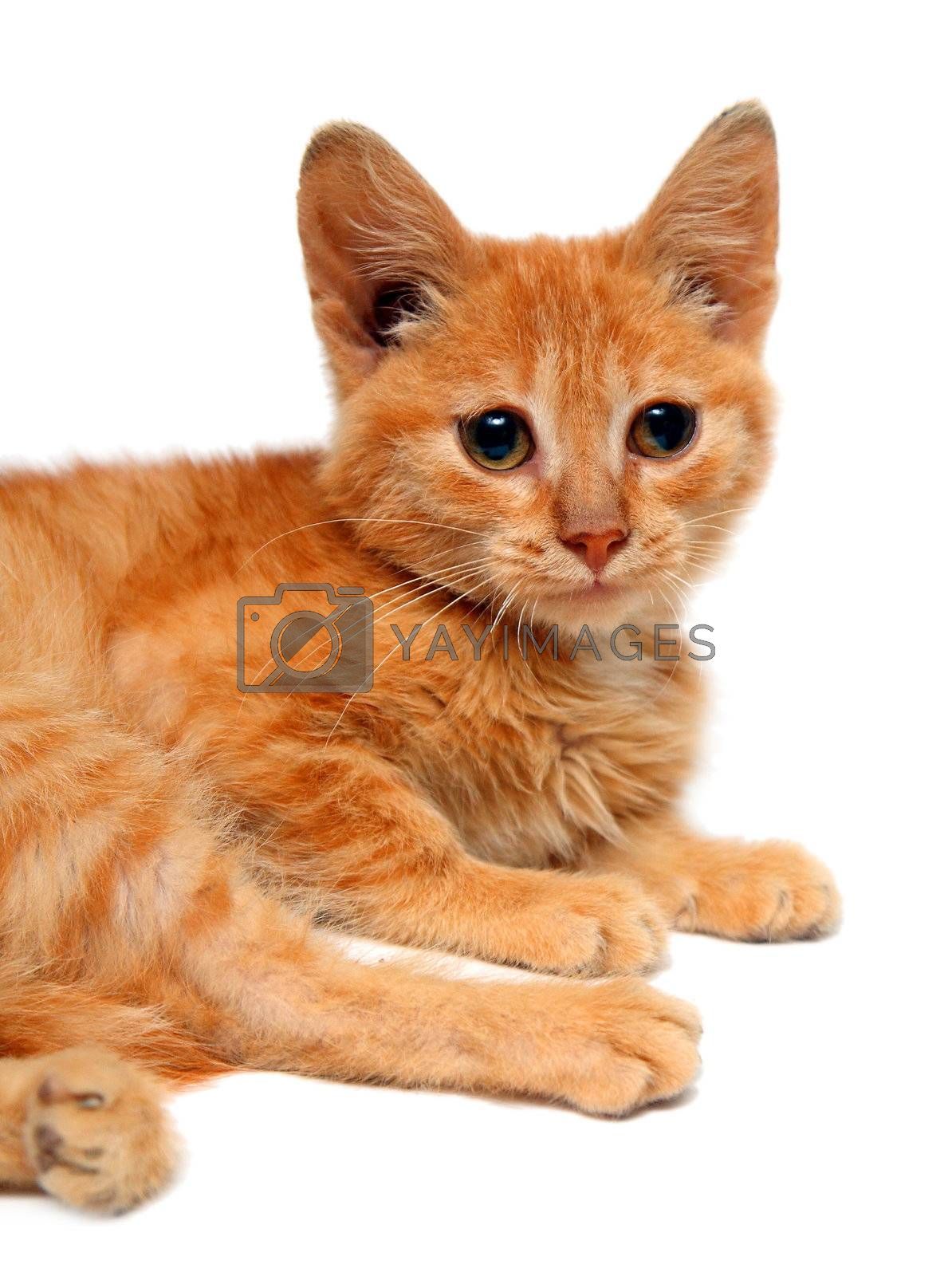 red small cat isolated on white