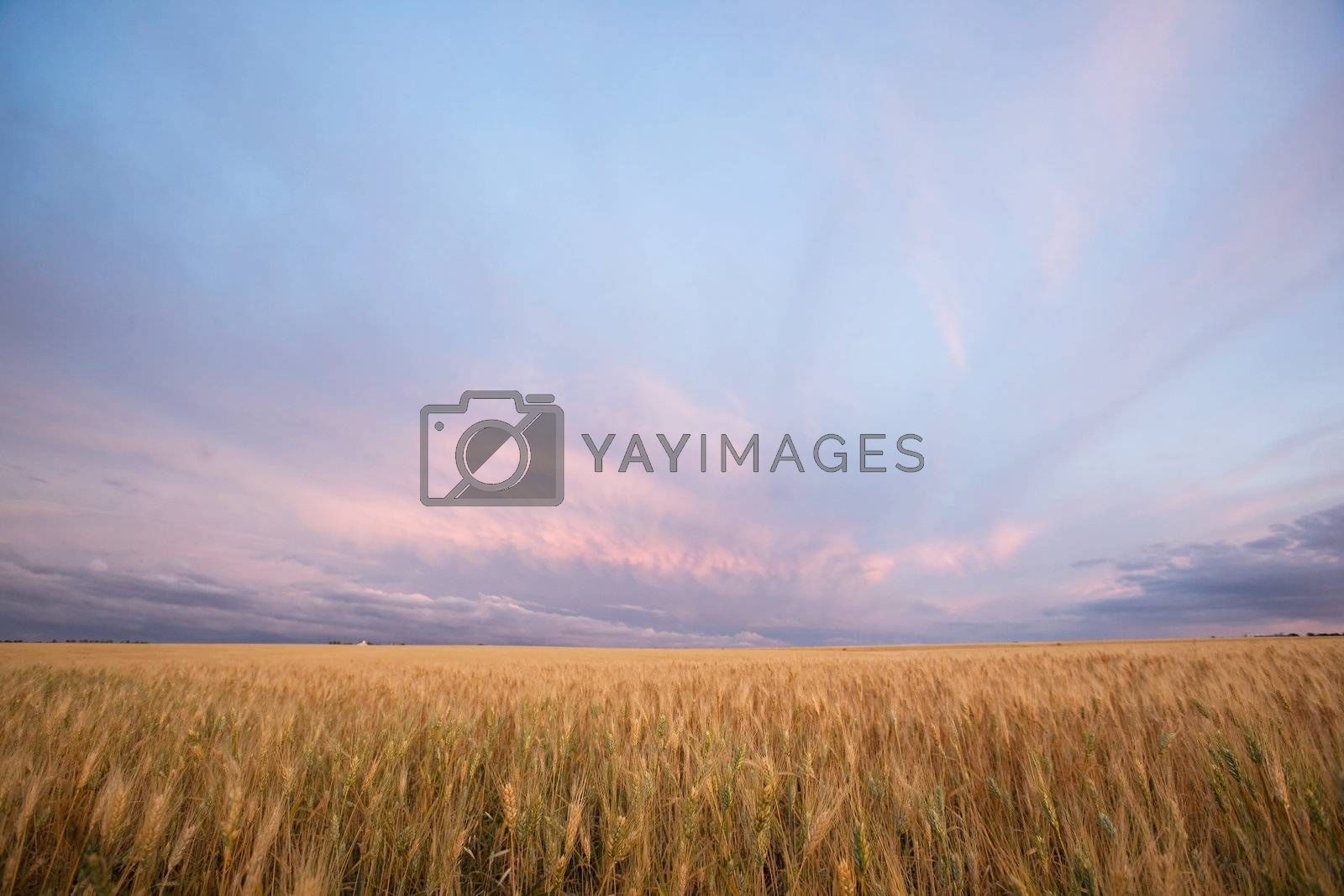A pairie landscape ready for harvest