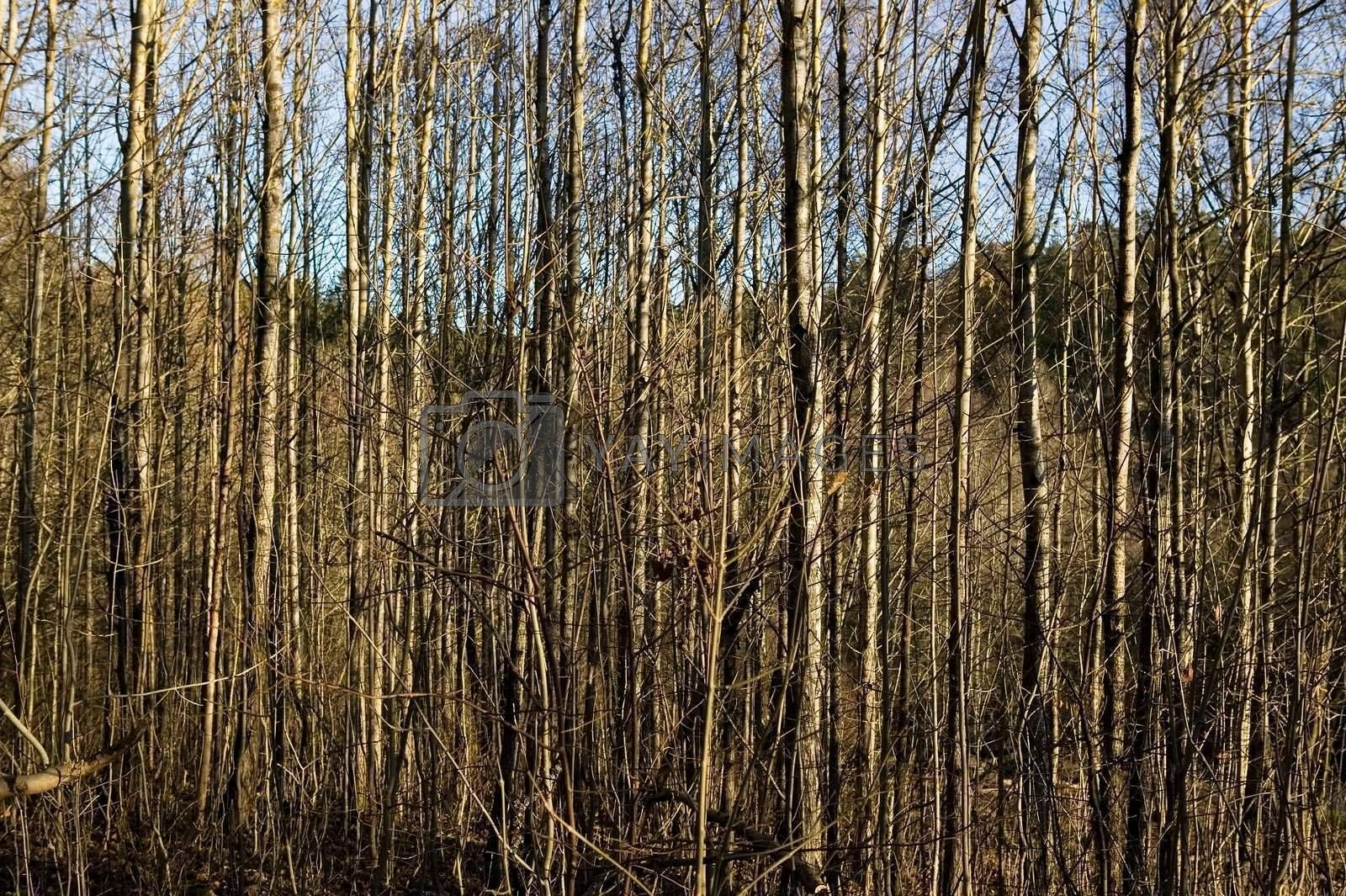 A texture background image of many thin trees without leaves.