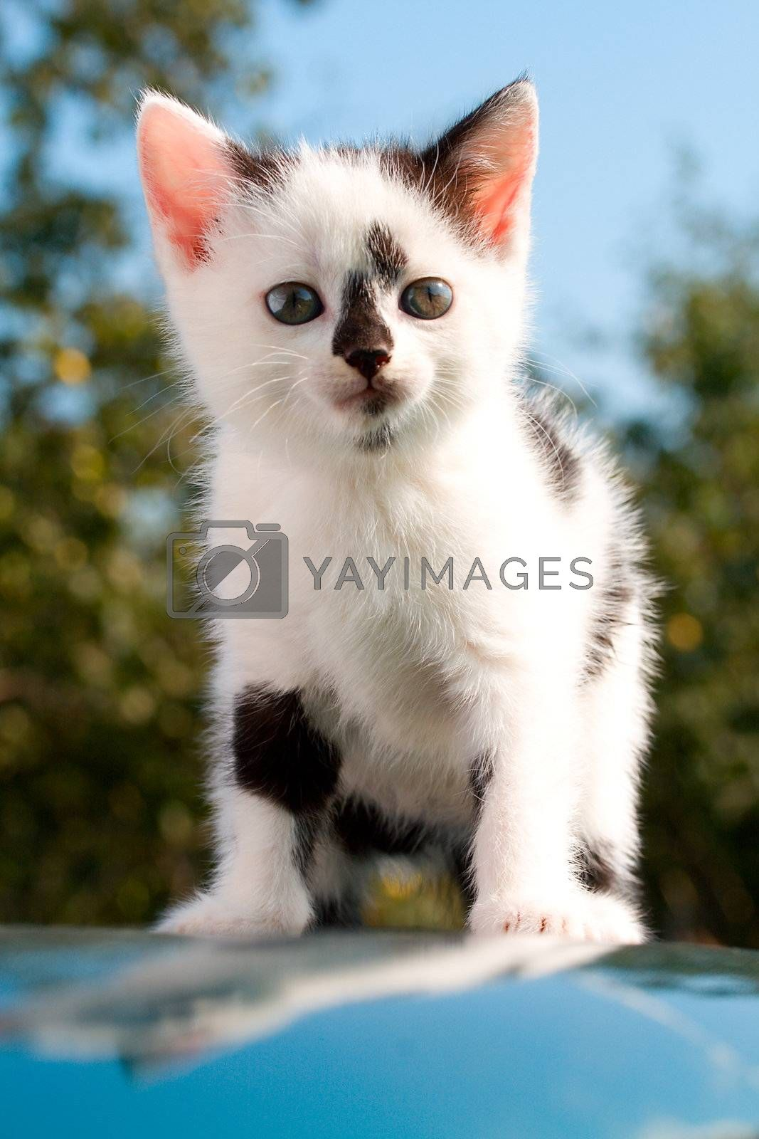 close-up sitting kitten on car with reflection