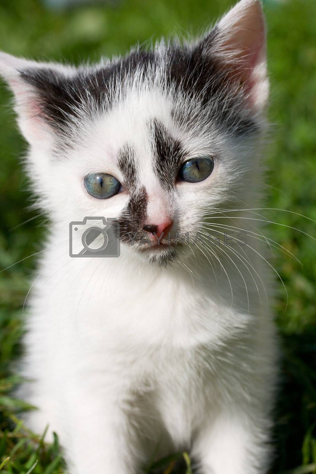 close-up sitting kitten on green grass background