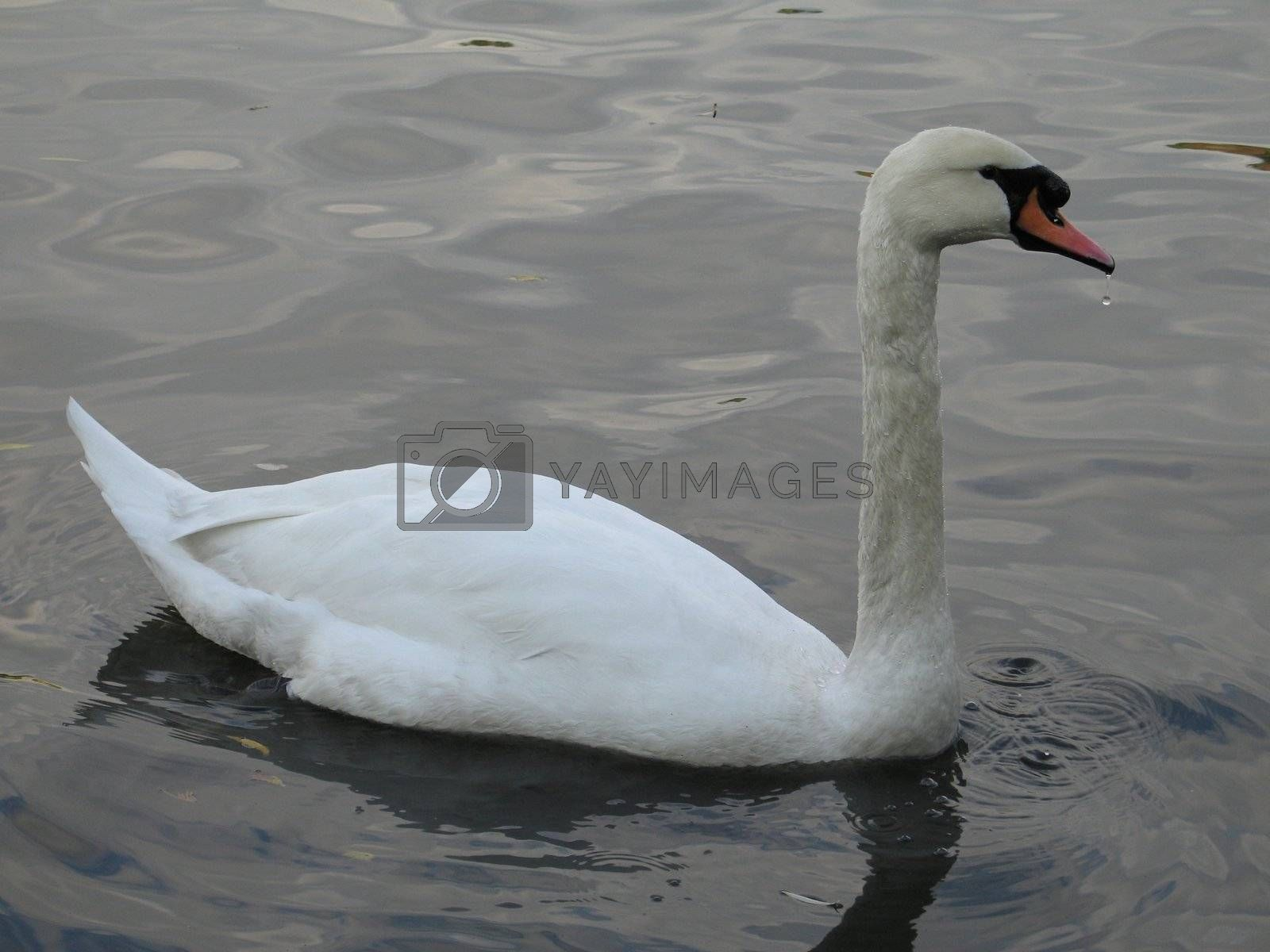 white swan on a lake by mmm