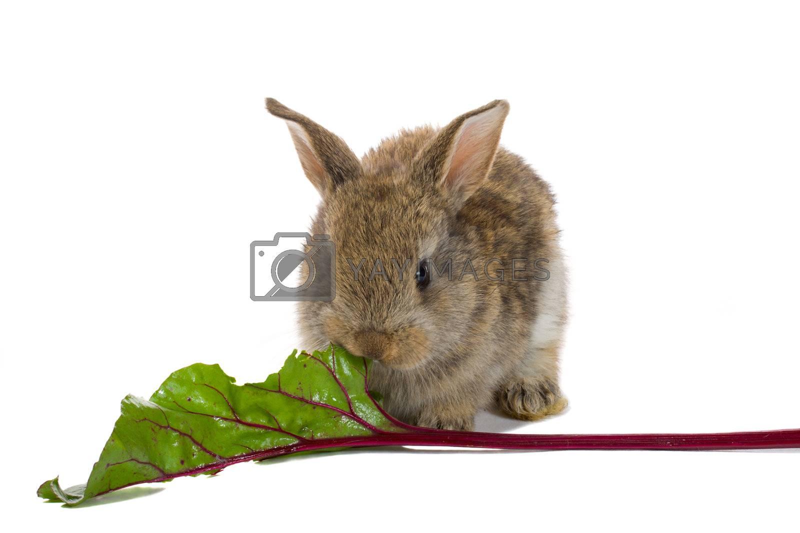 close-up baby rabbit eating, isolated on white