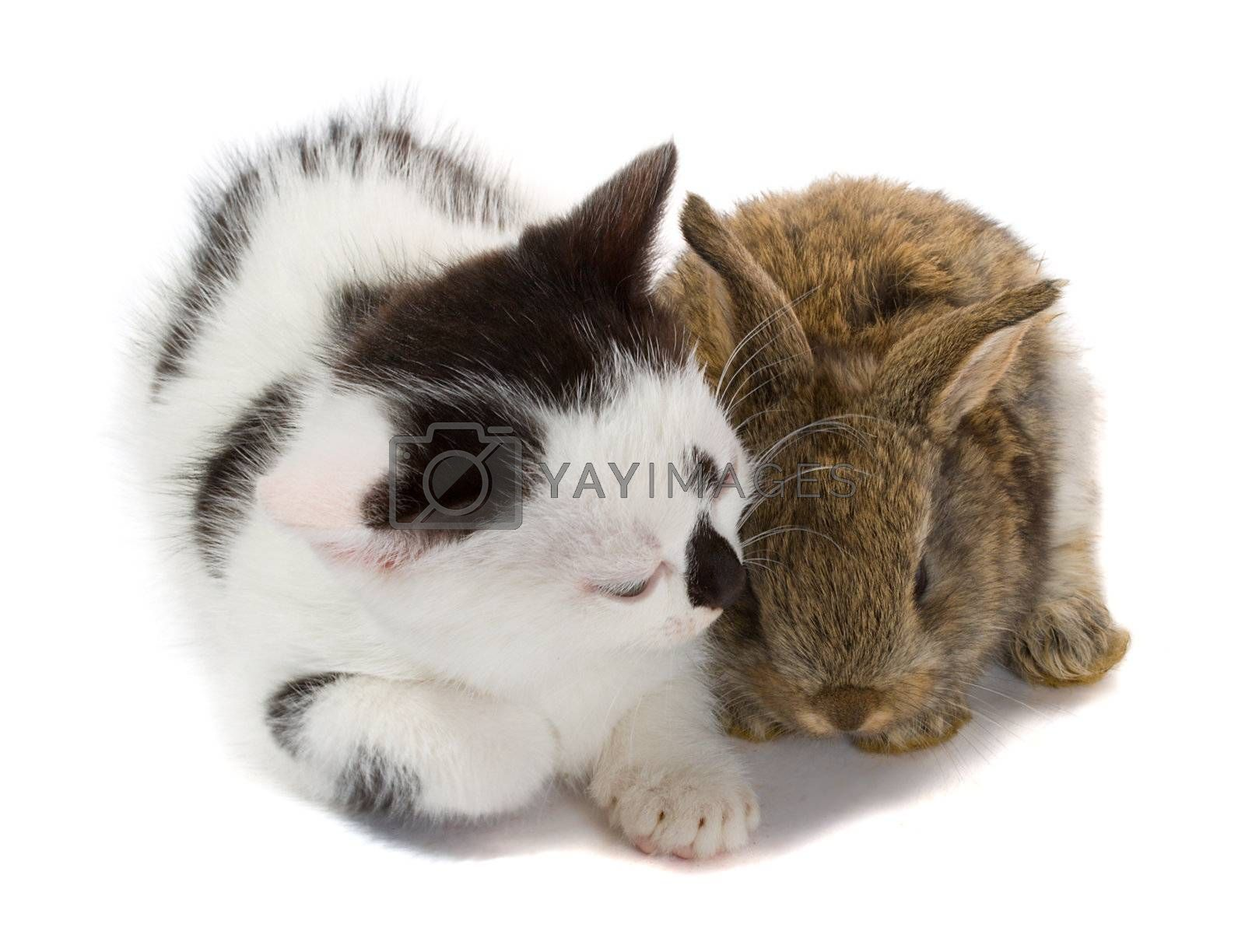 close-up kitten and baby rabbit, isolated on white