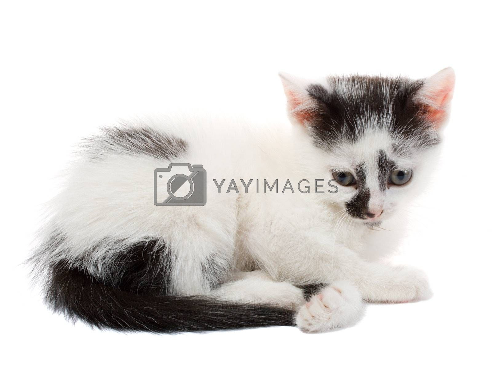 close-up lying small kitten, isolated on white