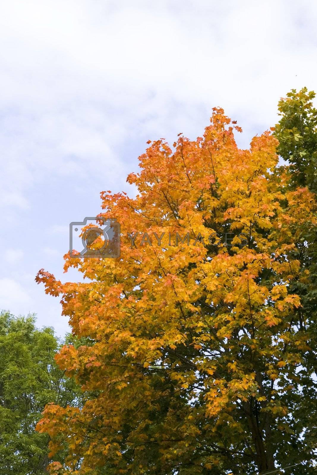 Golden tree on blue sky in autumn
