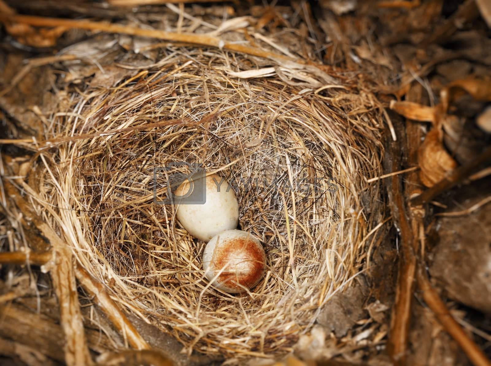 Two eggs of Dark-eyed Junco (Junco hyemalis) in the nest.