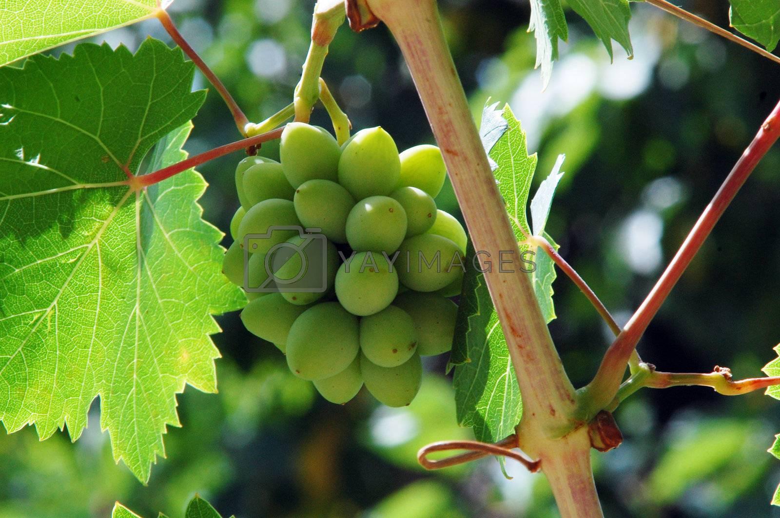 green grape