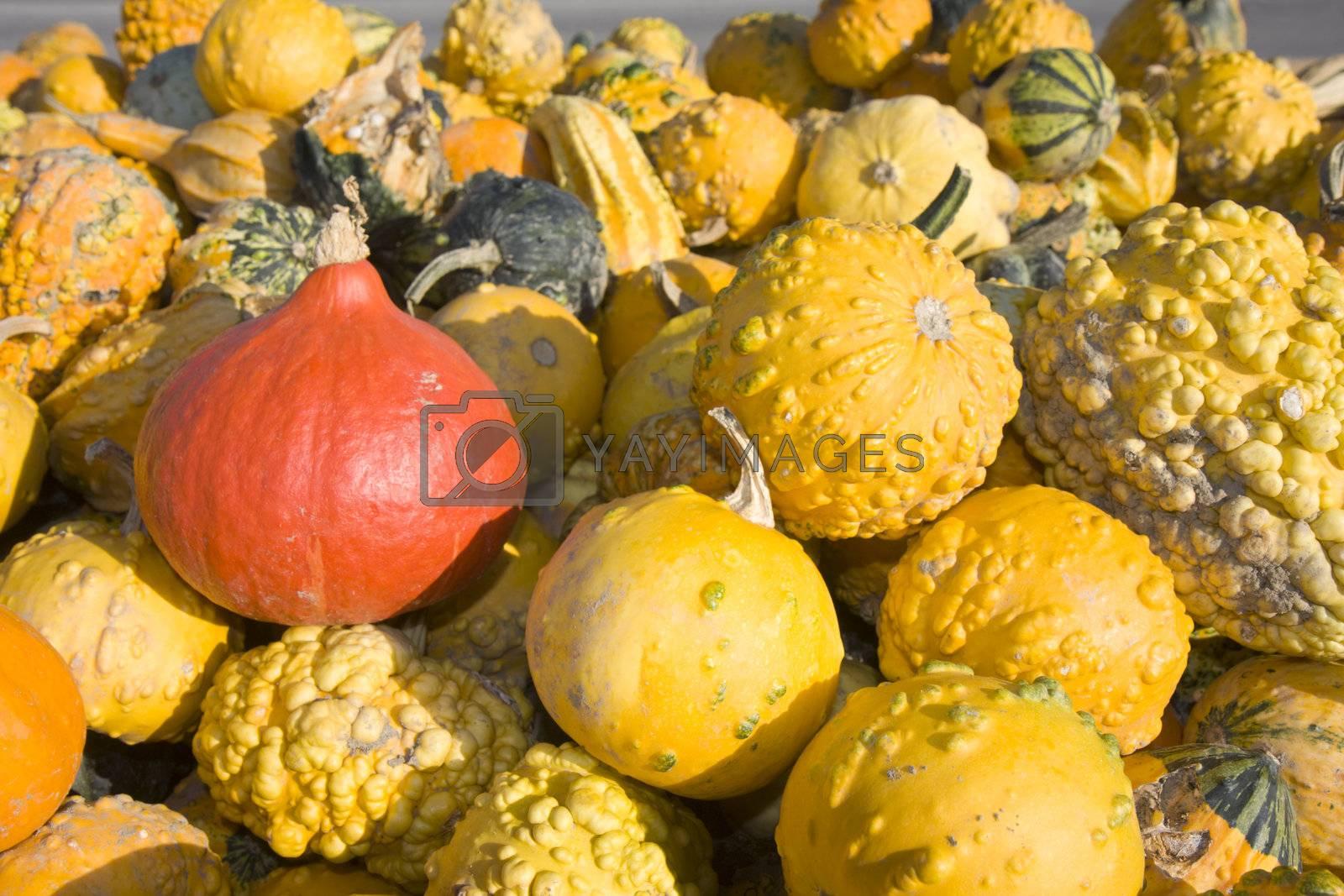 hokkaido and other pumpkins outdoor