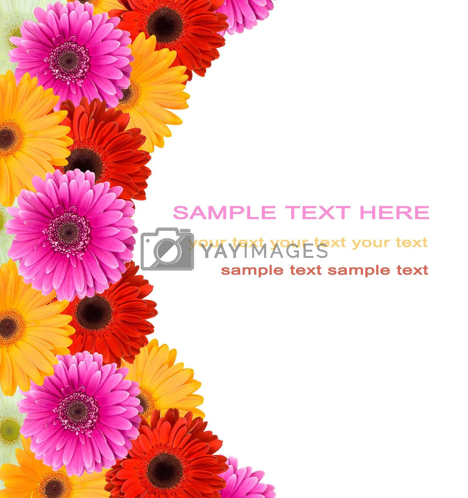 gerbera flowers frame and blank place for your text